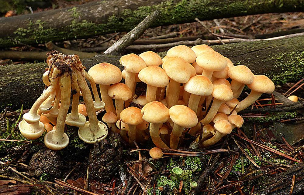 třepenitka svazčitá – Hypholoma fasciculare, jedovatá, Ralsko - foto: Jiří Vondrouš
