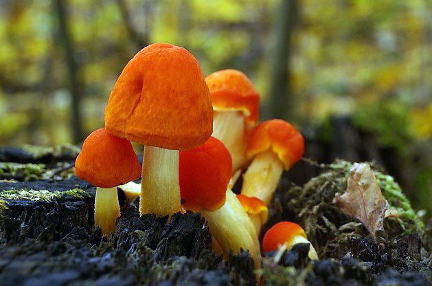 štítovka šarlatová – Pluteus aurantiorugosus, Červený seznam ohrožených druhů, kategorie VU, Praha Chuchle - foto: Tomáš Wagner