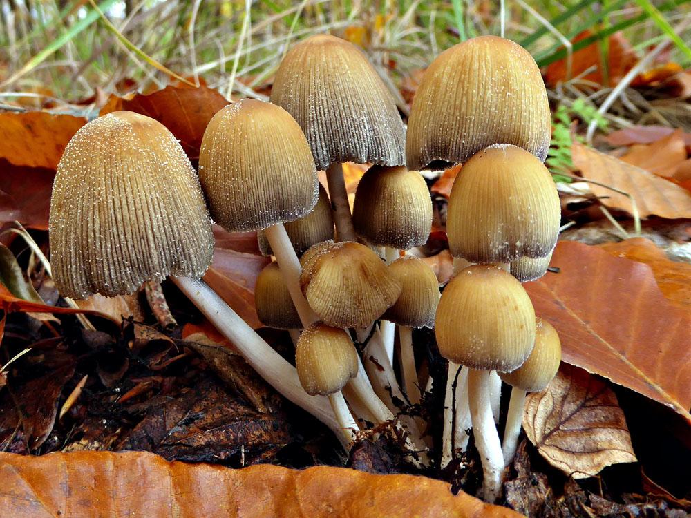 hnojník třpytivý – Coprinellus micaceus, Opavsko - foto: Iva Vondroušová