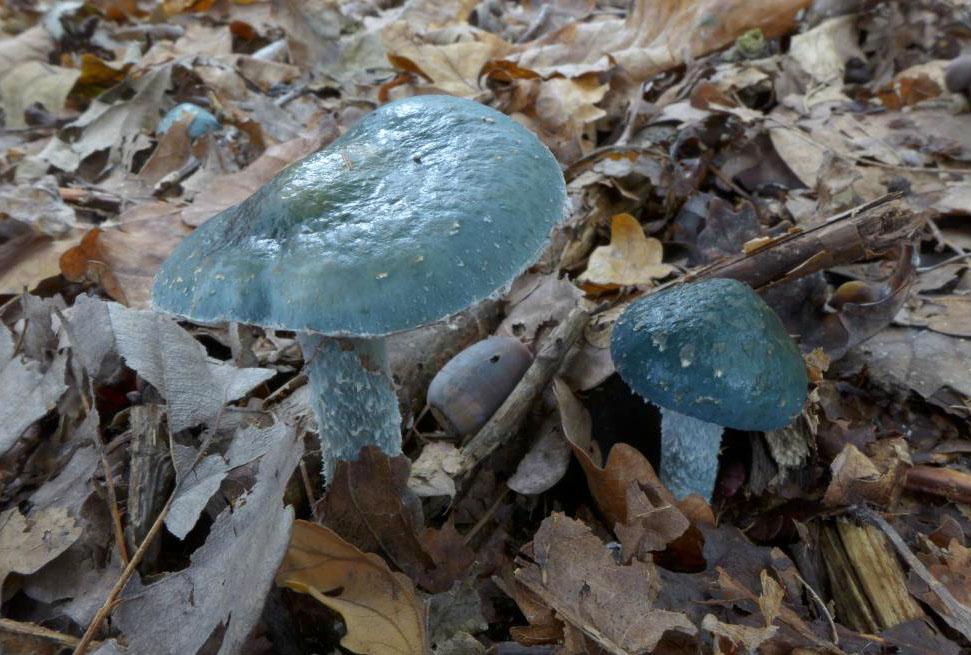 límcovka modrá – Stropharia cyanea, Praha Kolovraty - foto: Petr Souček