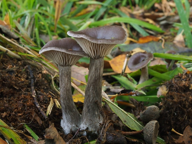 strmělka číškovitá – Pseudoclitocybe cyathiformis, Chebsko - foto: Miroslav Tauš