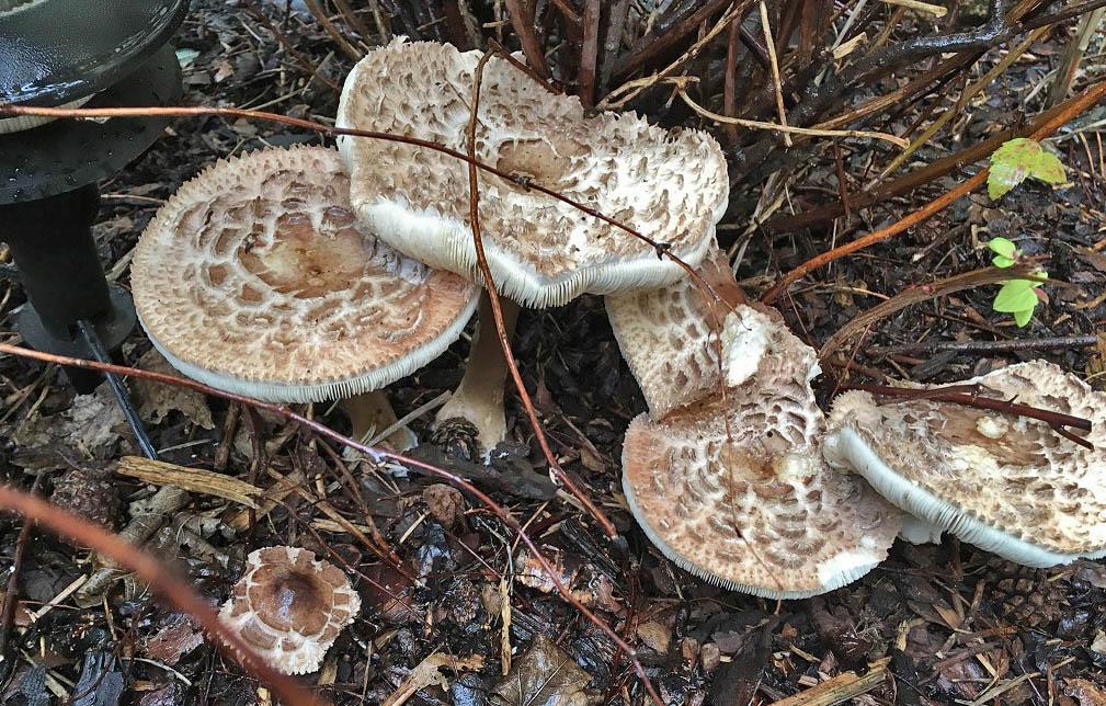 bedla zahradní (b. česká) - Chlorophyllum brunneum, jedovatá, Praha - foto: P. Přibylová
