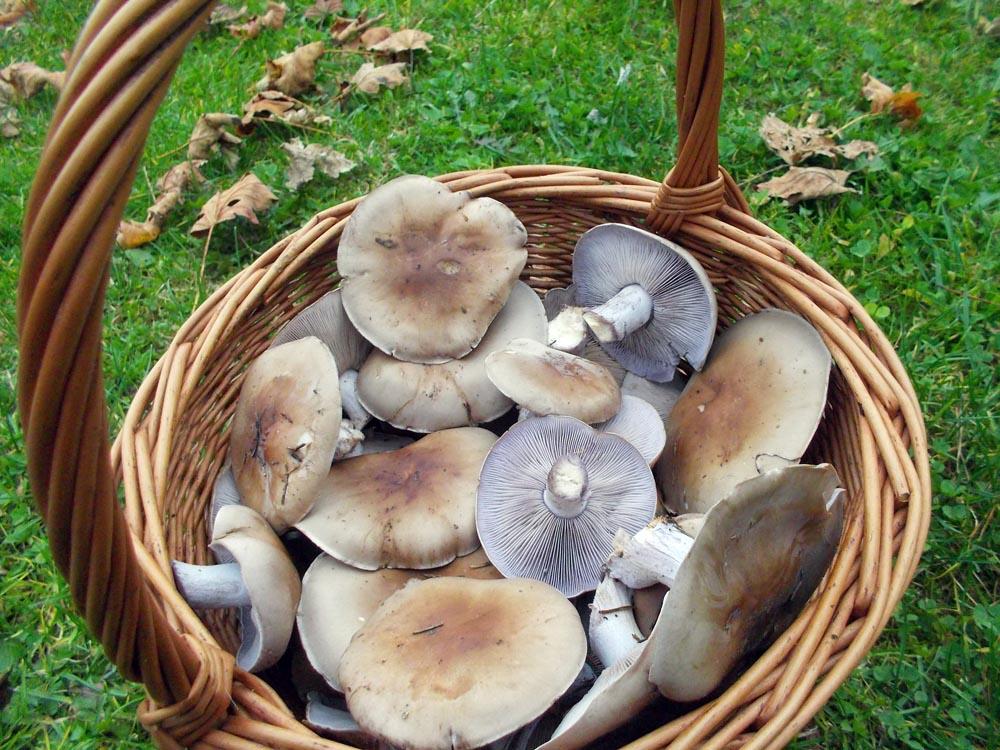 fialky - chutné podzimní čirůvky - foto: Markéta Vlčková