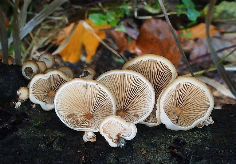 pařezník čéškovitý - Panellus patellaris, Mariánskolázeňsko - foto: Miroslav Tauš