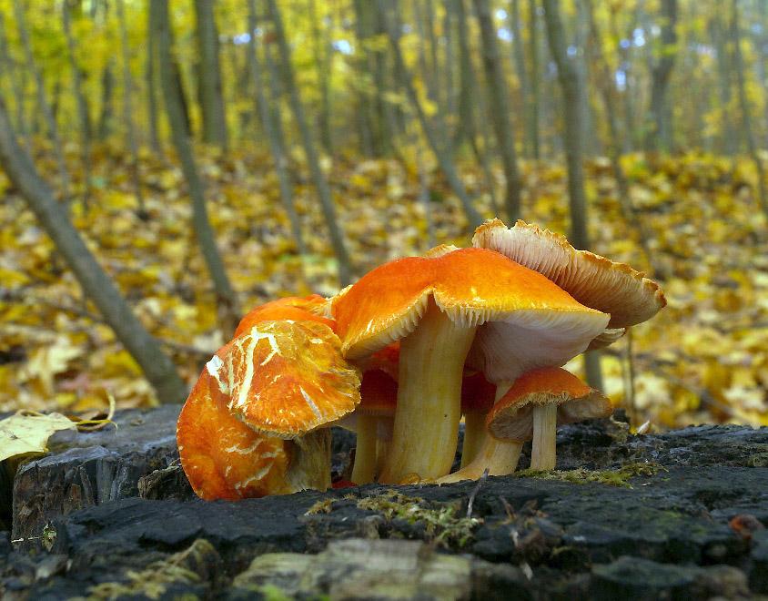 štítovka šarlatová - Pluteus aurantiorugosus, Červený seznam ohrožených druhů, kategorie VU, Praha Chuchle - foto: Tomáš Wagner