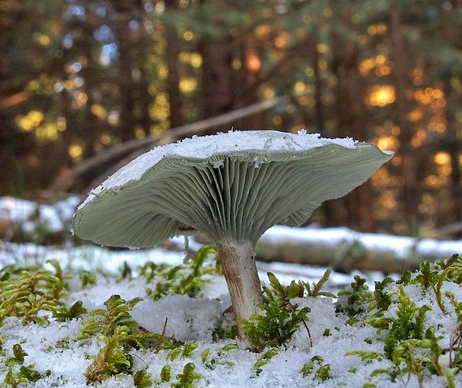 strmělka anýzka - Clitocybe odora, Chebsko - foto: Miroslav Tauš