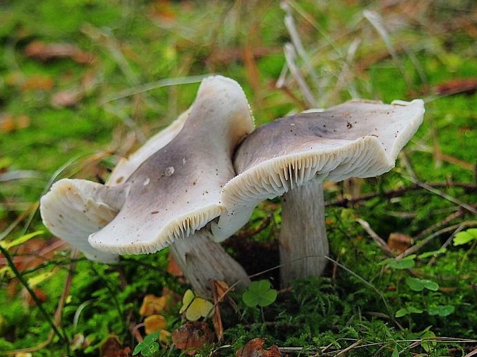 čirůvka mýdlová – Tricholoma saponaceum, Mariánskolázeňsko - foto: Miroslav Tauš