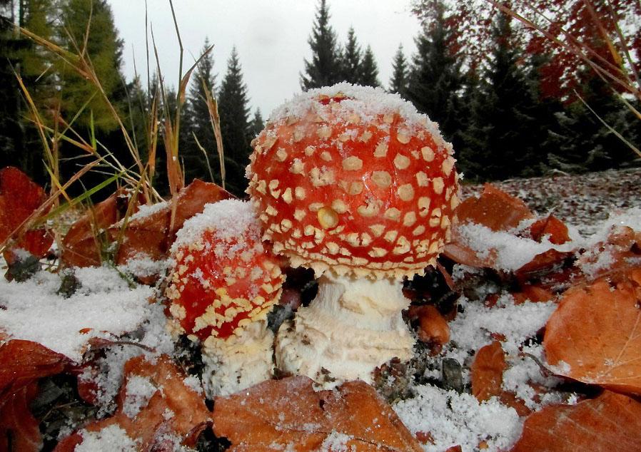 muchomůrka červená – Amanita muscaria, jedovatá, Chebsko - foto: Jiří Pošmura