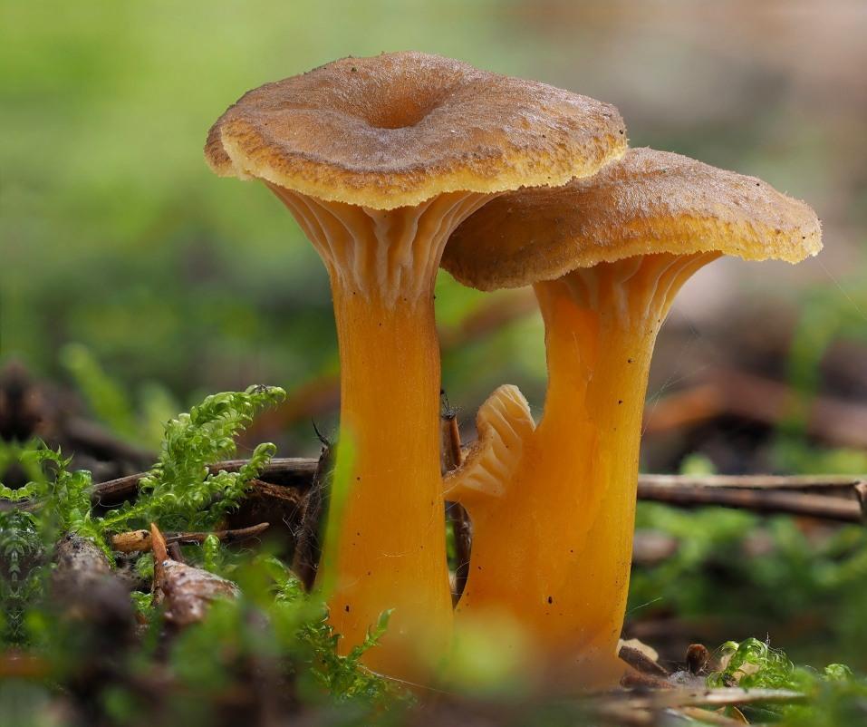 liška nálevkovitá - Craterellus tubaeformis, Kladensko - foto: Martin Petrák
