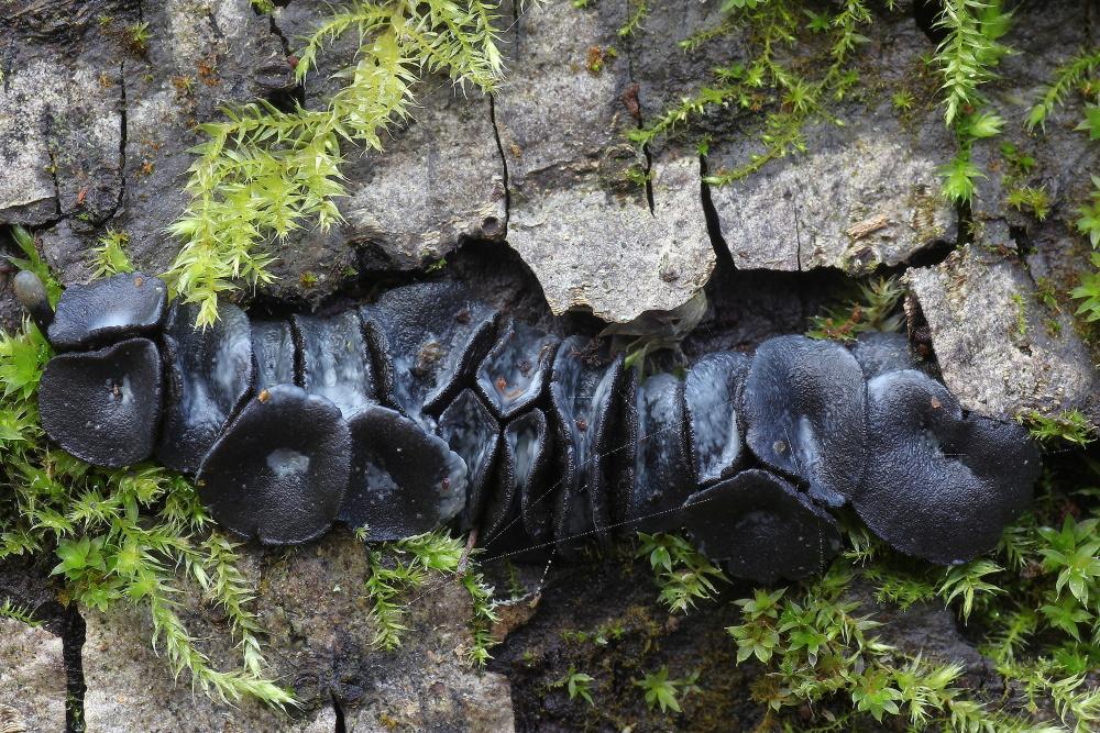 voskovička černavá - Holwaya mucida, Červený seznam ohrožených druhů, kategorie EN, Ratíškovicko - foto: Ladislav Špeta