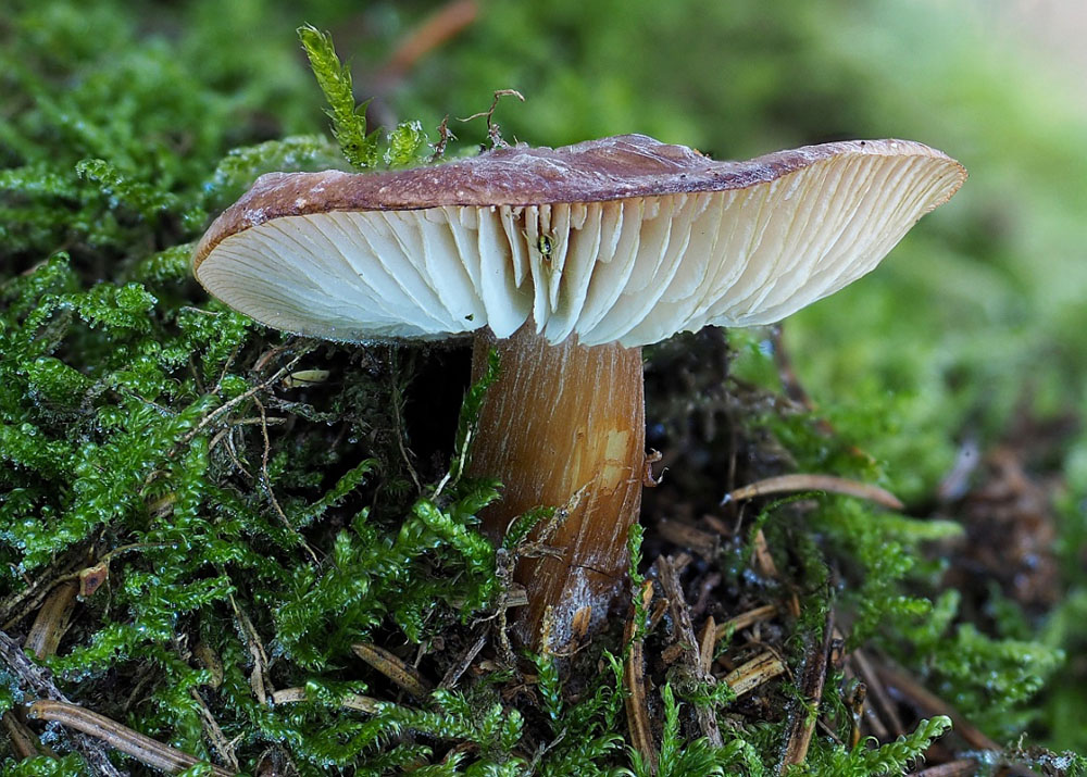 penízovka máslová pravá - Rhodocollybia butyracea f. butyracea, Kladensko - foto: Martin Petrák