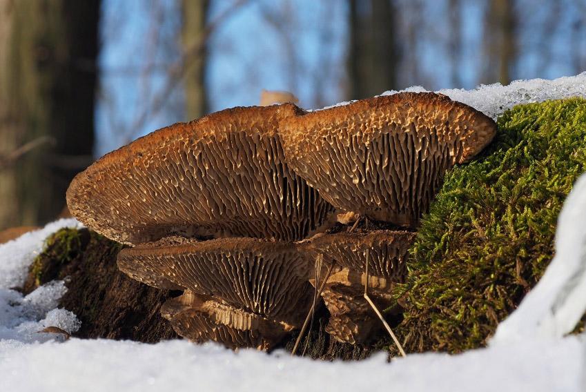 síťkovec dubový – Daedalea quercina - foto: Martin Petrák, Kladensko