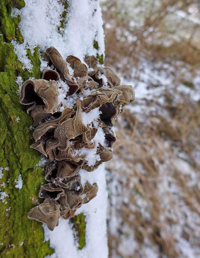ucho Jidášovo – Auricularia auricula-judae, jedlé - foto: Petr Souček, Praha Kolovraty