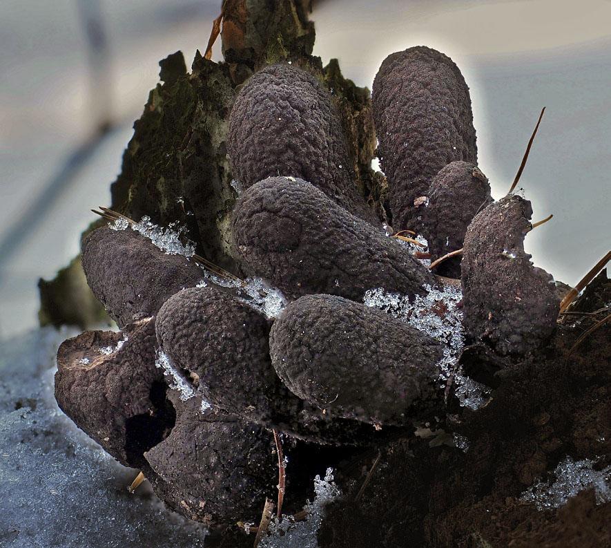 dřevnatka kyjovitá – Xylaria polymorpha - foto: Martin Petrák, Kladensko