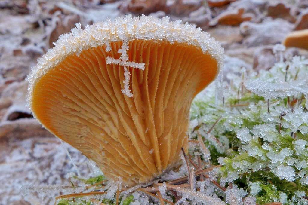 hlíva hnízdovitá – Phyllotopsis nidulans - Červený seznam ohrožených druhů, kategorie NT - foto: Petr Souček, Praha Nedvězí