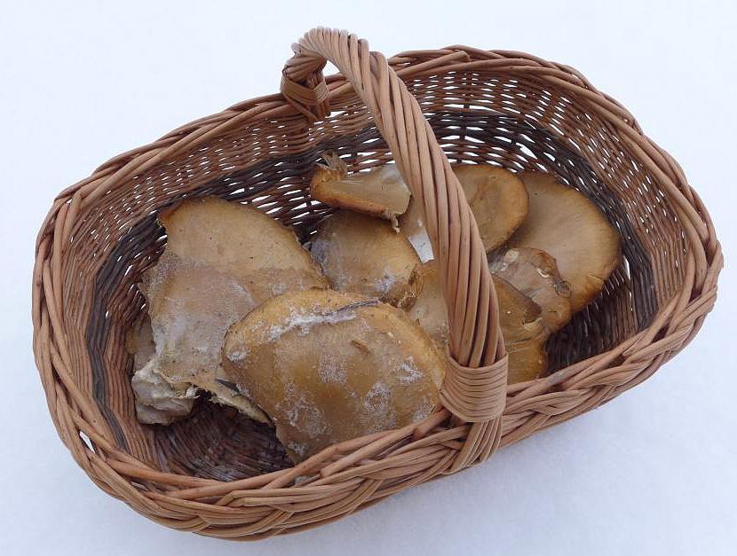hlívy - zmrzlíky - foto: Petr Souček