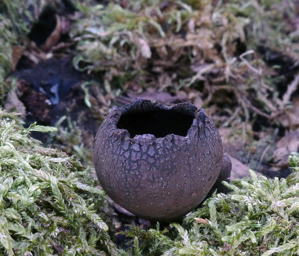 urnička pohárová - Urnula craterium, Červený seznam ohrožených druhů, kategorie CR