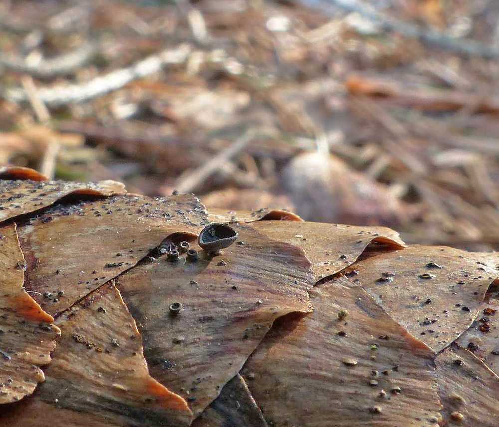 číšovka šišková – Piceomphale bulgarioides, Hlinecko - foto: Jiří Laštůvka