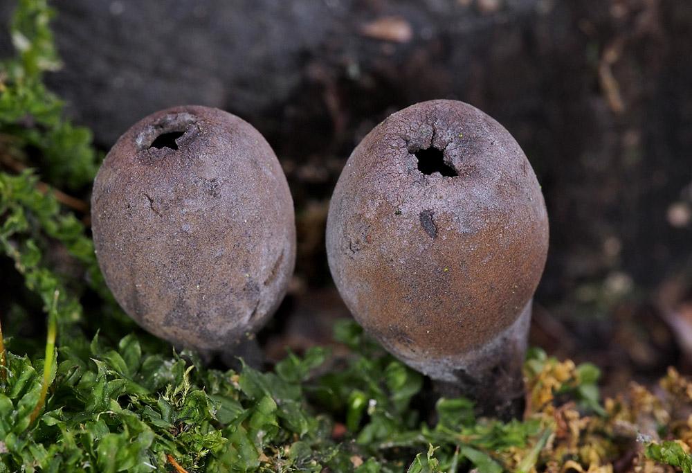 urnička pohárová – Urnula craterium, Červený seznam ohrožených druhů, kategorie CR, Praha - foto: Miroslav Tauš