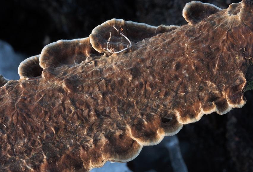 pevník kaštanový - Porostereum spadiceum , Pelhřimovsko - foto: Pavel Moran