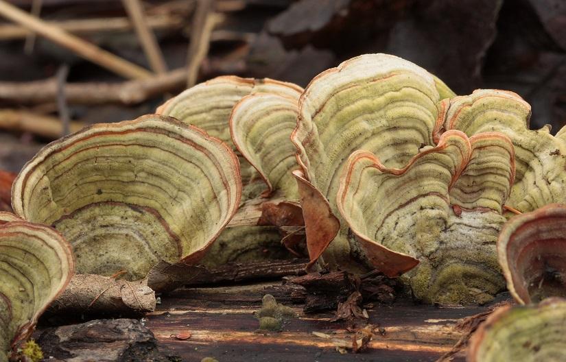 pevník plstnatý – Stereum subtomentosum, Vlašimsko - foto: Pavel Moran