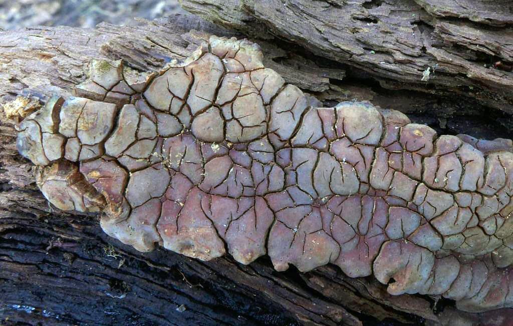 pevník rozpraskaný - Xylobolus frustulatus, Uhlířské Janovice - foto: Petr Souček
