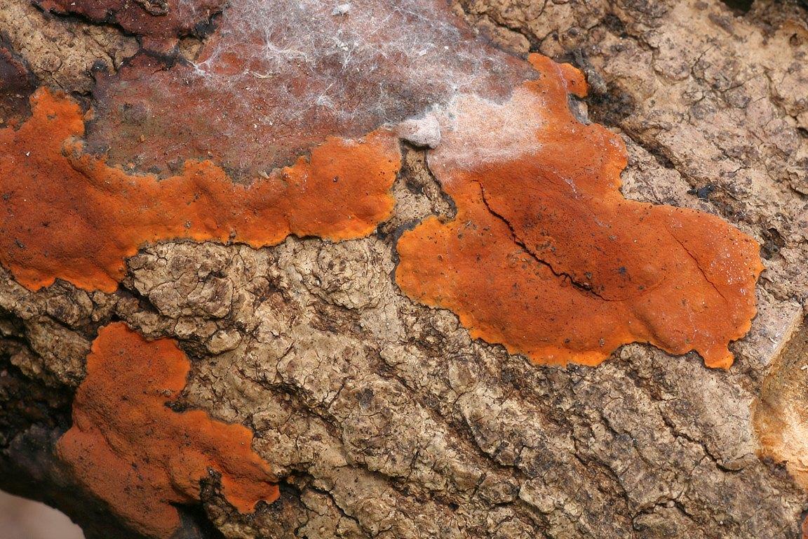 dřevomor oranžový - Hypoxylon ticinense , Holíč, SR - foto: Ladislav Špeta