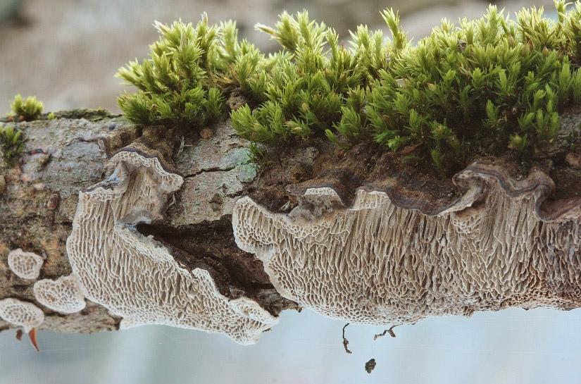 outkovka měkká - Datronia mollis, Vlašimsko - foto: Pavel Moran