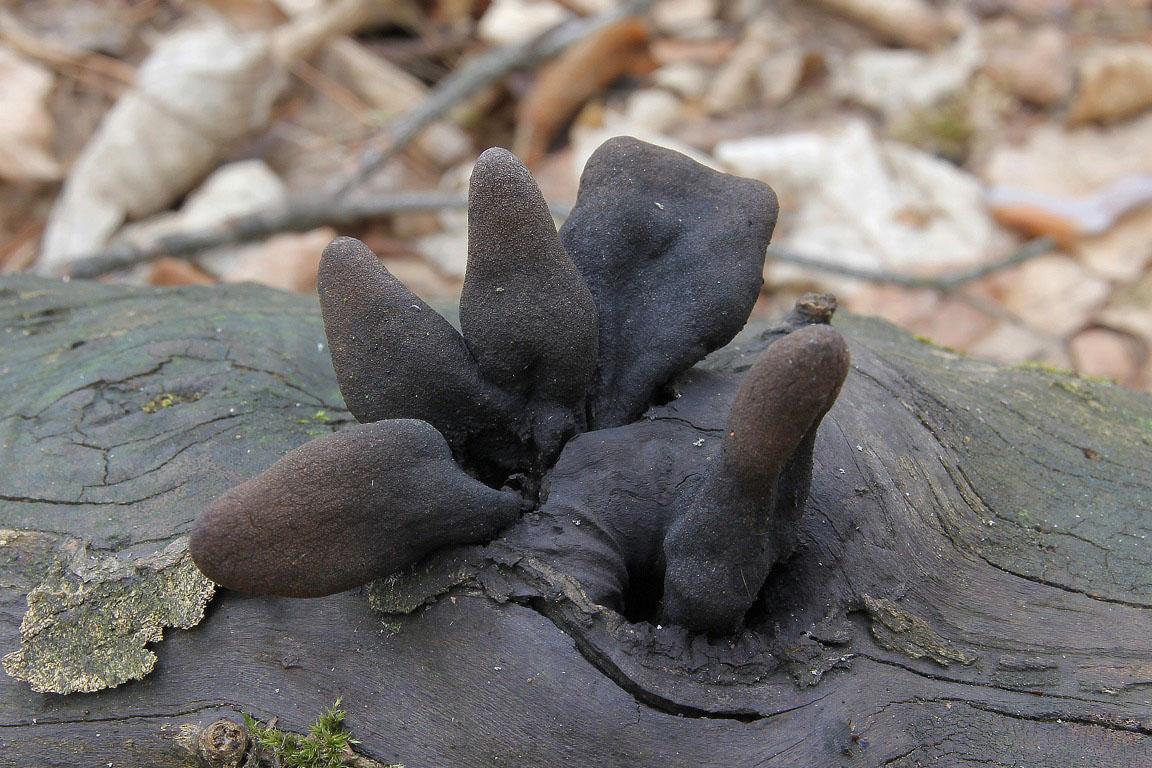 dřevnatka kyjovitá – Xylaria polymorpha, Hodonínsko - foto: Ladislav Špeta