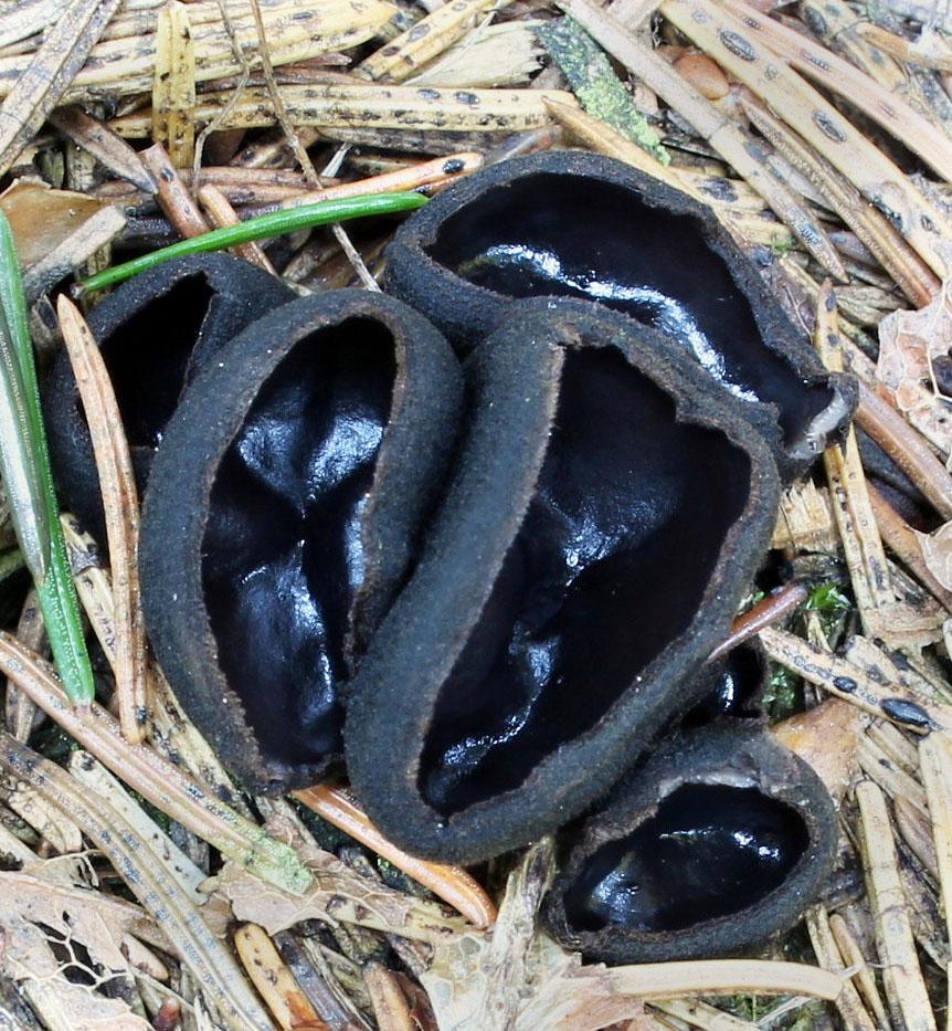 ušíčko černé - Pseudoplectania nigrella, Červený seznam ohrožených druhů, kategorie EN, Krasíkov - foto: Jana Pravcová