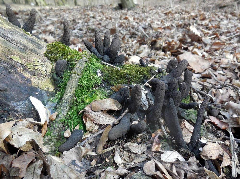 dřevnatka kyjovitá – Xylaria polymorpha, Roztoky - foto: Jaroslav Vanča