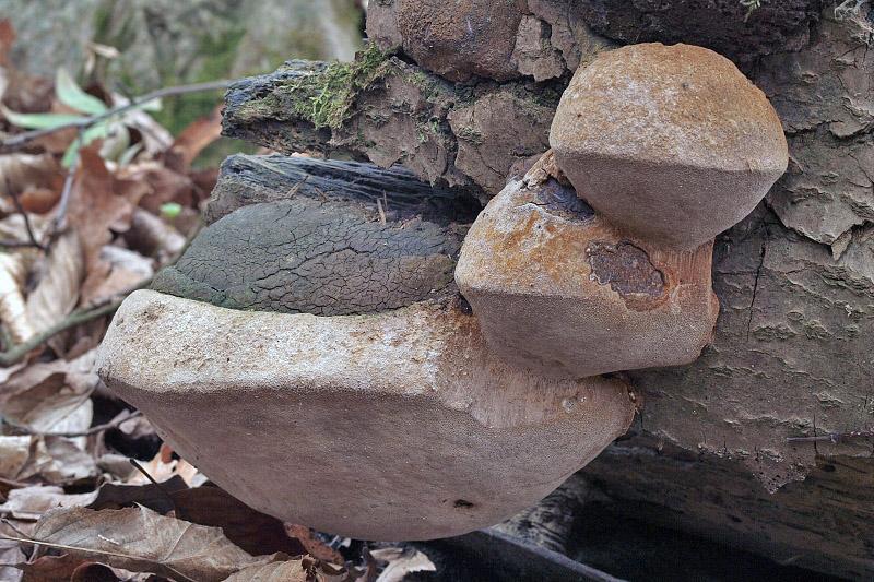 ohňovec Hartigův - Phellinus hartigii, Blanensko - foto: Jiřina Hrabáková