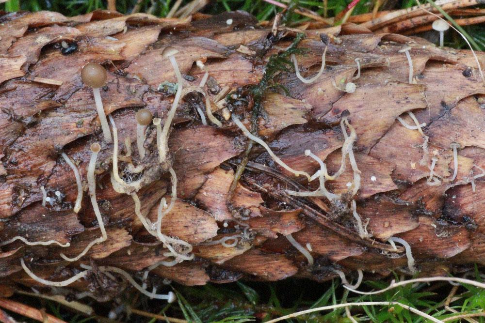 penízovka smrková - Strobilurus esculentus, jedlá, Koryta - foto: Zdeněk Hájek