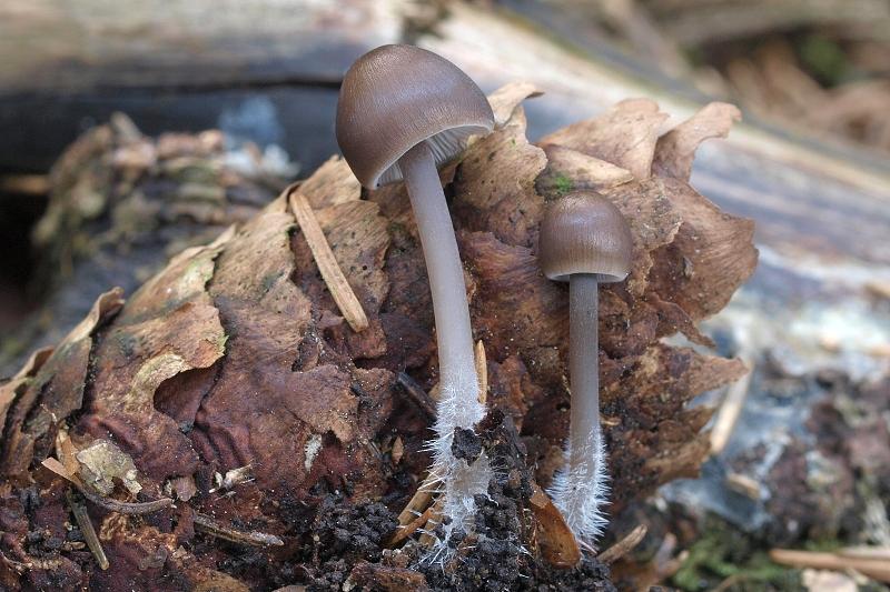 helmovka šiškomilná – Mycena strobilicola, Deblín - foto: Jiřina Hrabáková