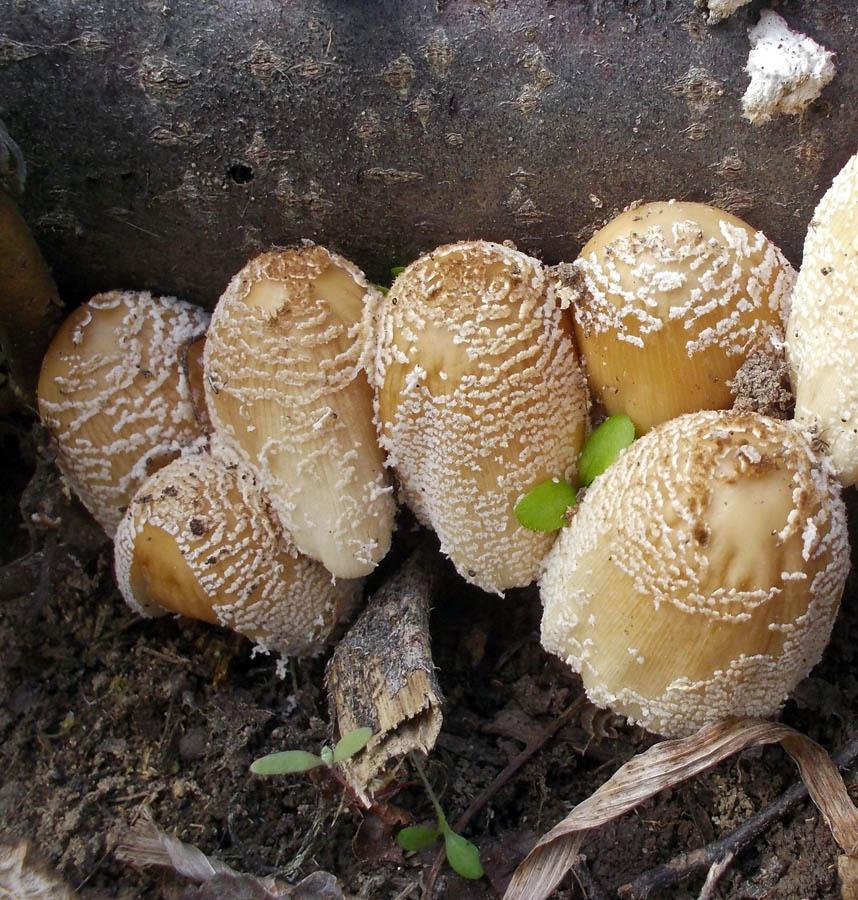 hnojník třpytivý - Coprinellus micaceus, Neratovice - foto: Markéta Vlčková