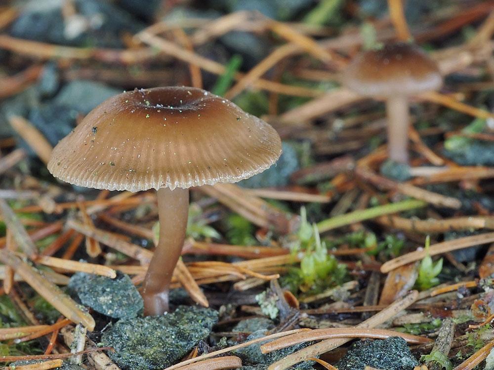 fajodka zimní - Gamundia striatula, Mariánskolázeňsko - foto: Miroslav Tauš