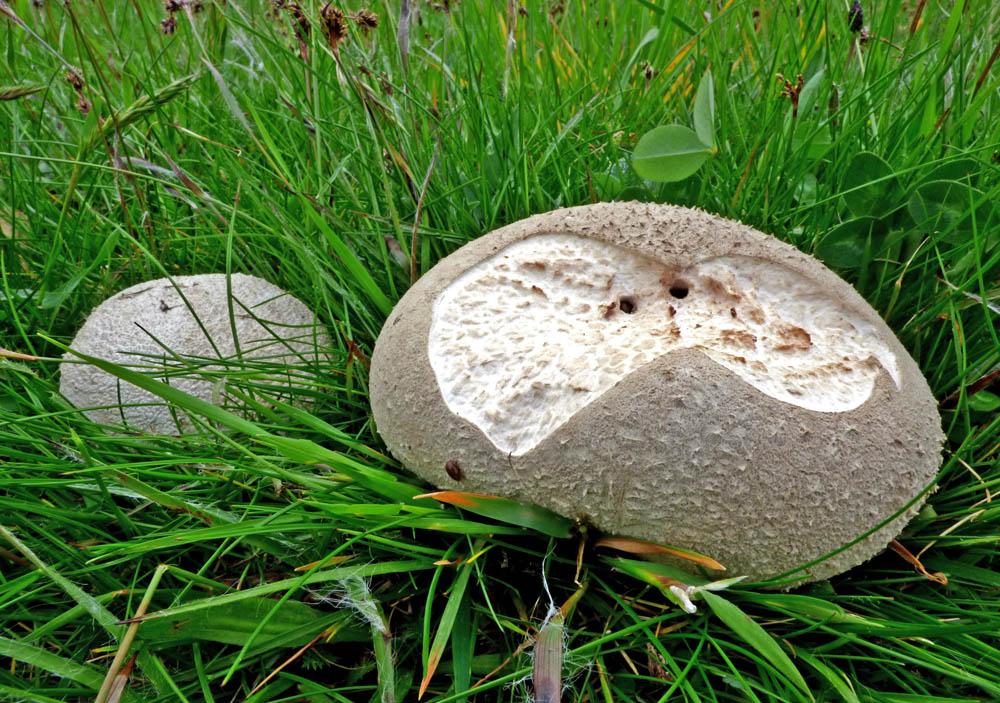 pýchavka dlabaná - Calvatia utriformis, jedlá, Ralsko - foto: Jiří Vondouš