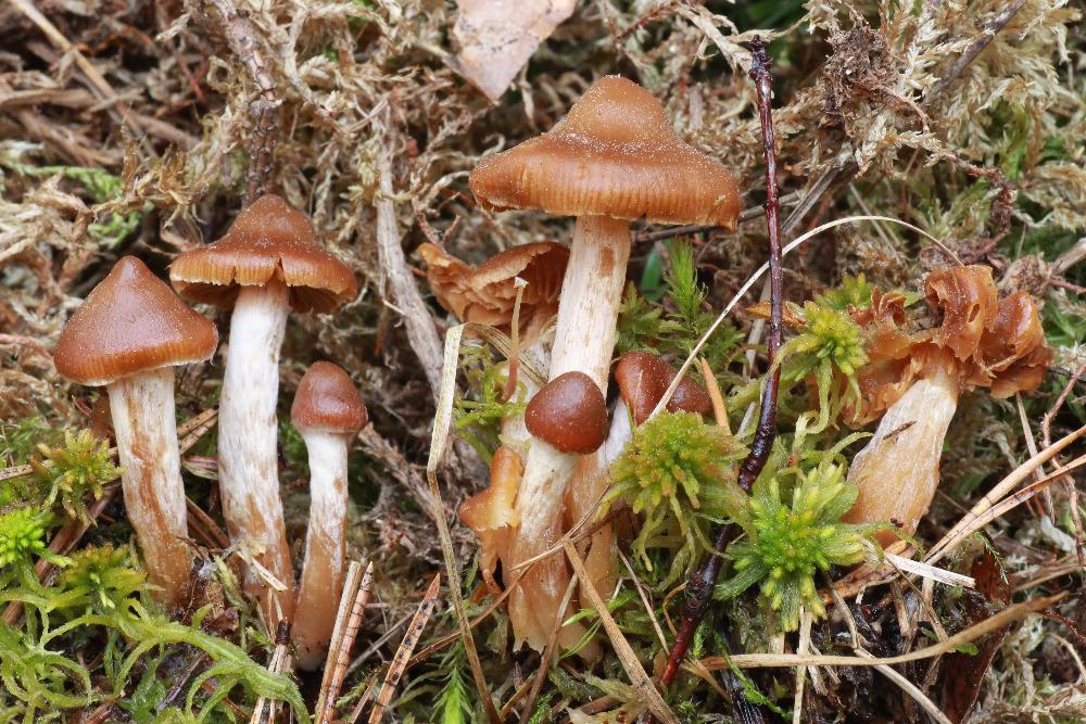pavučinec mokřadní – Cortinatius tubarius, Dlouhá louka, foto: Z. Hájek