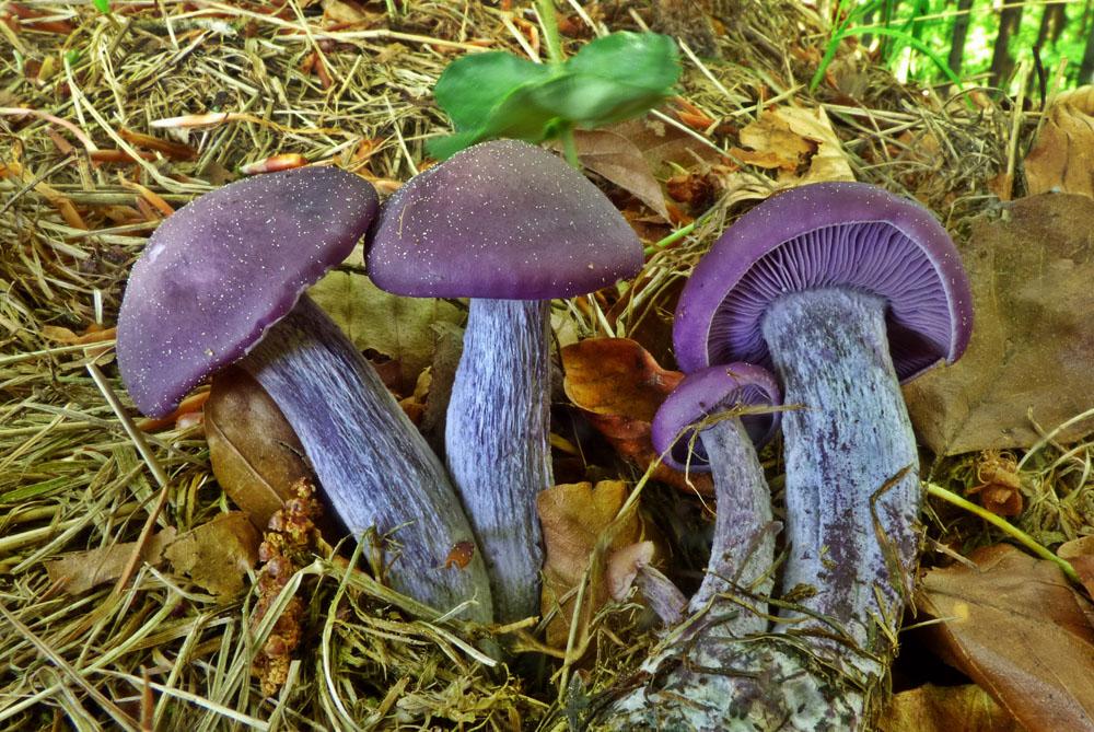 čirůvka fialová – Lepista nuda, jedlá, tržní druh, Ralsko - foto: Jiří Vondrouš