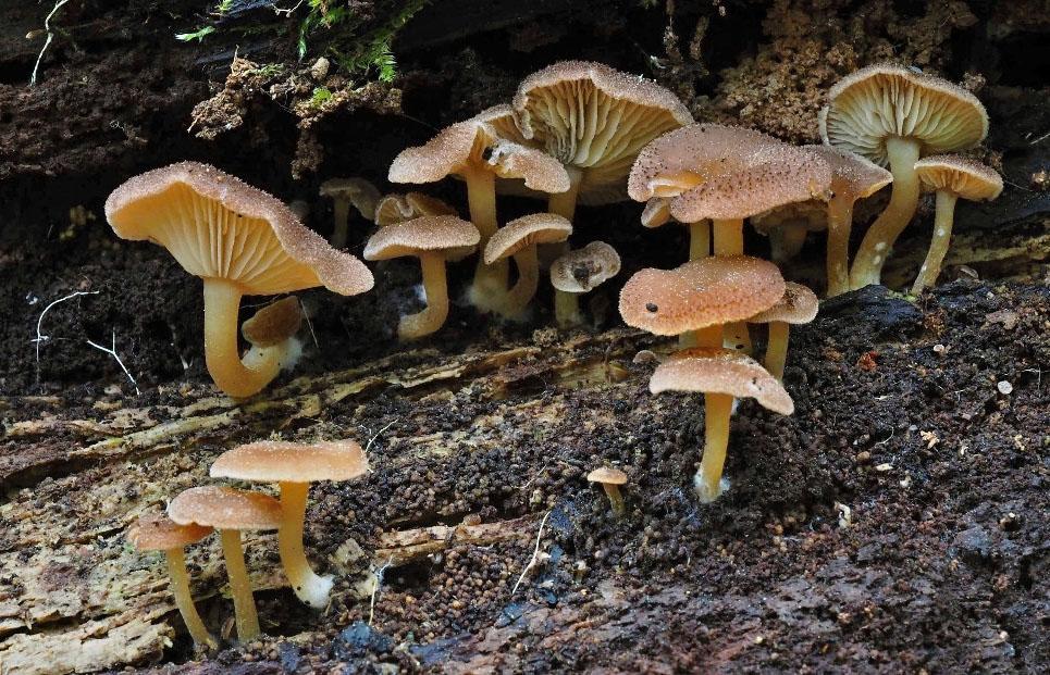 strmělka opýřená - Trichocybe puberula, Podorlicko - foto: Pavel Petelík