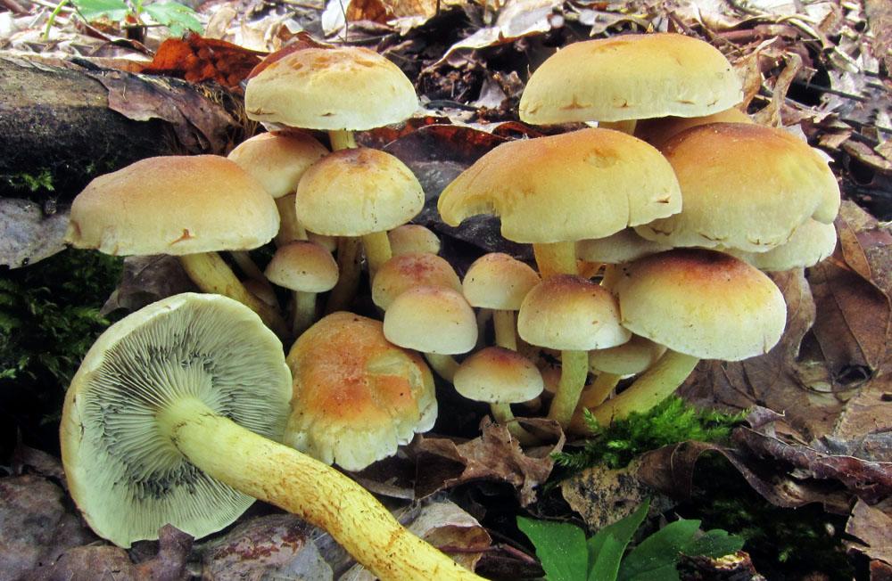třepenitka svazčitá – Hypholoma fasciculare, jedovatá, Bohdalovice-Bradlo - foto: Petr Hampl
