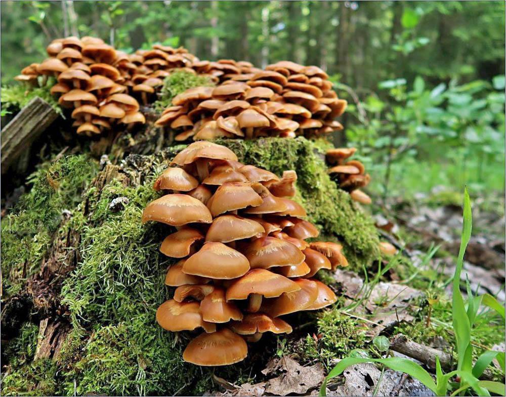opeňka měnlivá – Kuehneromyces mutabilis, jedlá, Českokrumlovsko - foto: Věra Hyráková