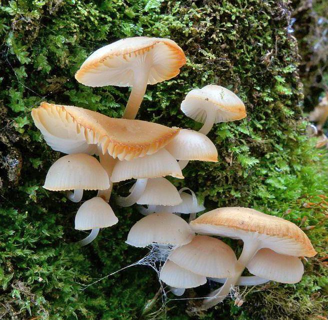 helmovka hladká - Mycena laevigata, Šumava - Červený seznam ohrožených druhů, kategorie VU - foto: Petr Souček