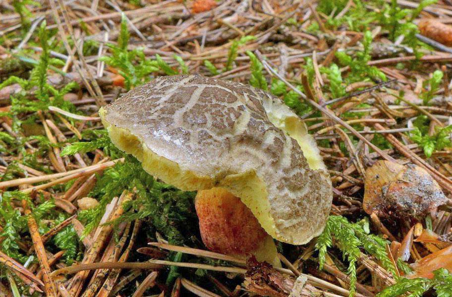 hřib žlutomasý – Xerocomellus chrysenteron, Uhlířské Janovice - foto: Petr Souček