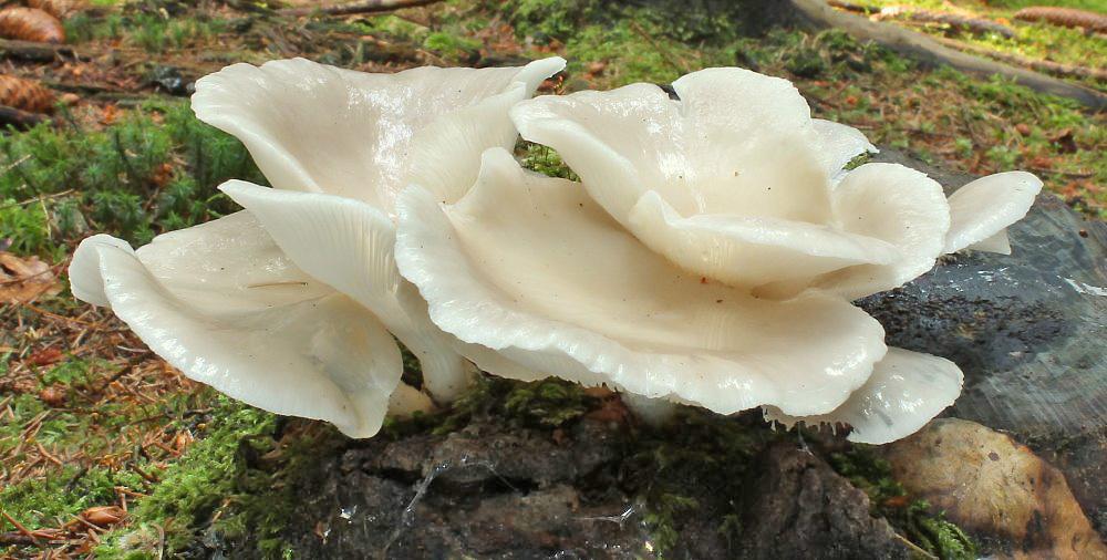 hlíva plicní - Pleurotus pulmonarius, jedlá, tržní druh, Krasíkov - Jana Pravcová