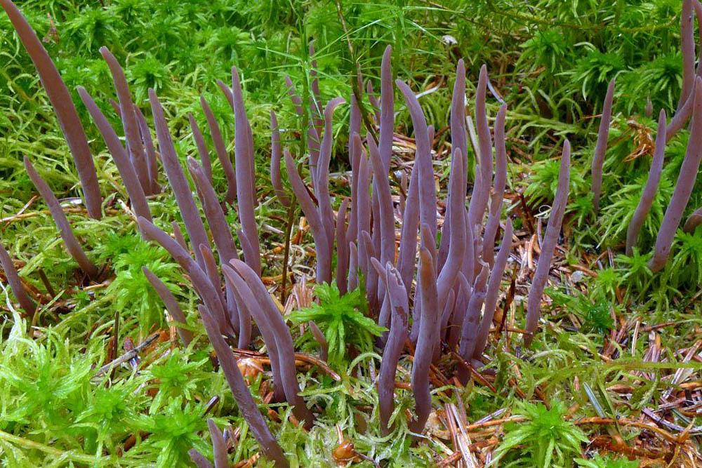kyjanka purpurová - Alloclavaria purpurea, Šumava - Červený seznam ohrožených druhů, kategorie EN - foto: Petr Souček