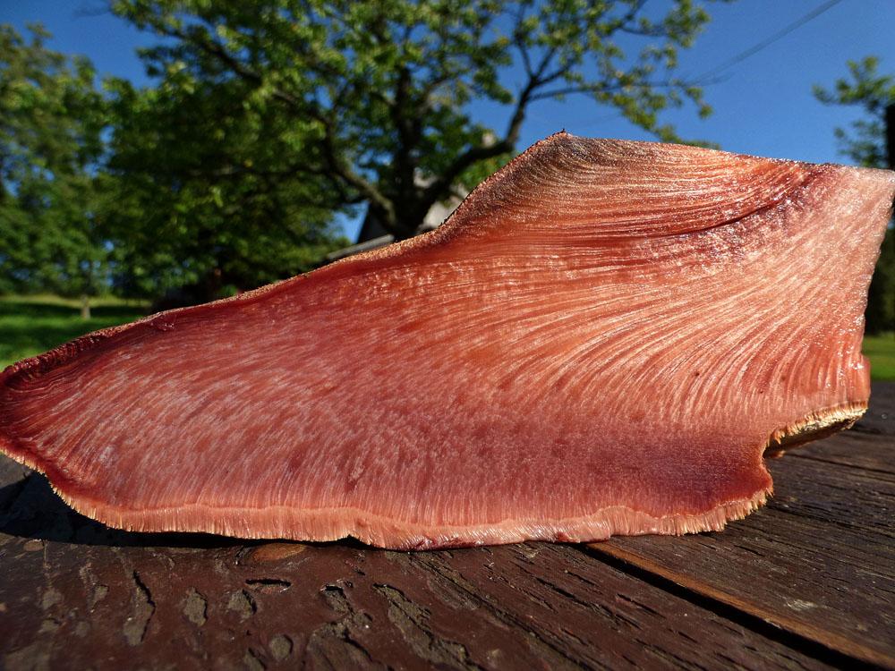 pstřeň dubový – Fistulina hepatica, foto řezu plodnicí - foto: Jiří Vondrouš