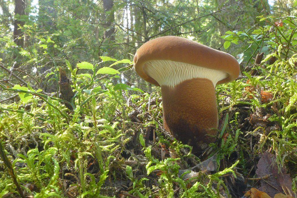 čechratice černohuňatá – Tapinella atrotomentosa - foto: Petr Souček