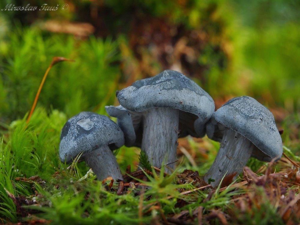 strmělka anýzka - Clitocybe odora - foto: Miroslav Tauš