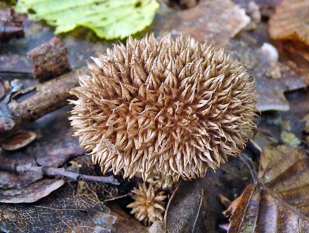 pýchavka ježatá - Lycoperdon echinatum - foto: Petr Mikuš